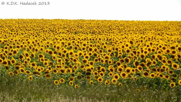 sunflower field 1 CW