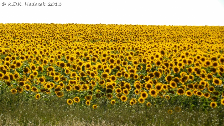 sunflower field 1 CW