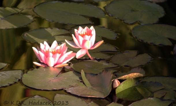 pink waterlillies 1 CW