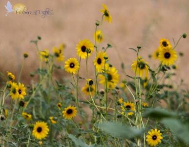 Sunflower patch 1 CW