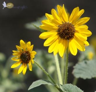 Sunflower stalk 1 CW