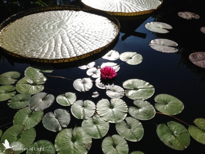 Danika's waterlily photo CW