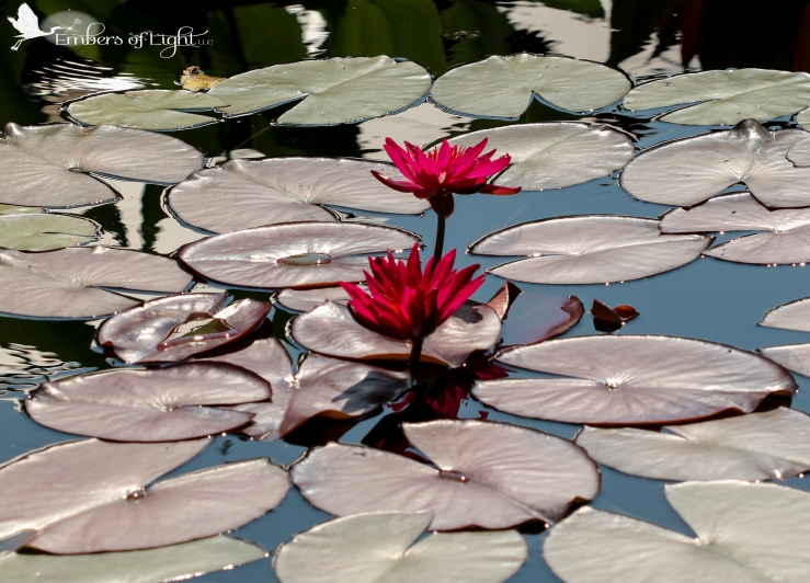 red water lillies