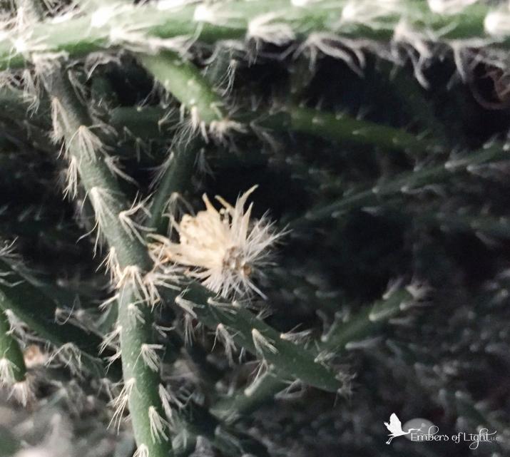 succulent blossom