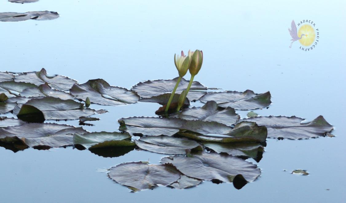blush water lilies